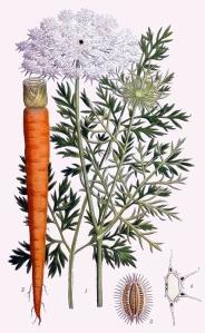 Carotte (Daucus carota)