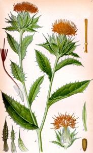 Carthame (Carthamus tinctorius)