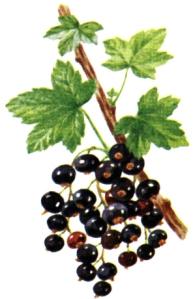Cassis (Ribes nigrum L.)
