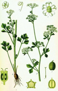Céleri (Apium graveolens L.)