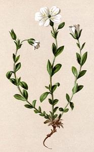 Céraiste des Alpes (Cerastium alpinum)