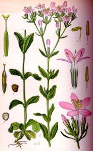 Centaurée (Centaurium erythraea)