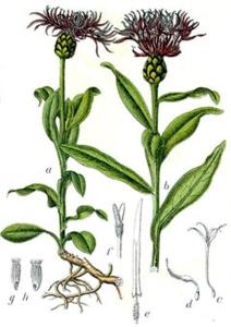 Centaurée des montagnes - (Centaurea montana)