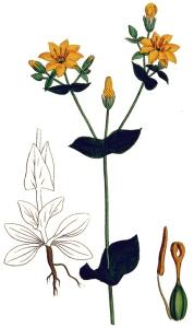 Centaurée jaune (Chlora perfoliata L.)