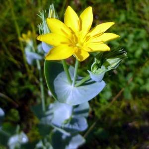 Centaurée jaune