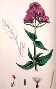 Centranthe rouge (Centranthus ruber L.)