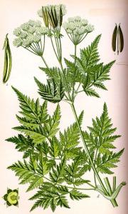 Cerfeuil musqué (Myrrhis odorata L.)