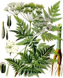 Cerfeuil sauvage (Anthricus silvestris L.)