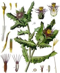 Chardon béni (Cnicus benedictus L)