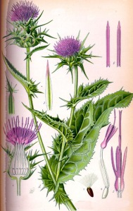 Chardon Marie (Silybum marianum)