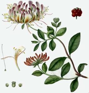 Chèvrefeuille des bois (Lonicera periclymenum L.)