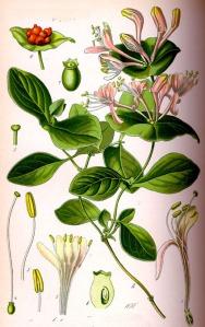 Chèvrefeuille des jardins (Lonicera caprifolium L.)