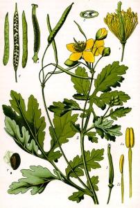 Chélidoine (Chelidonium majus L.)
