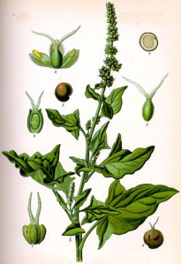 Chénopode Bon-Henri (Chenopodium Bonus-Henricus L.)