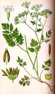 Chérophylle penché (Chaerophyllum temulum L.)