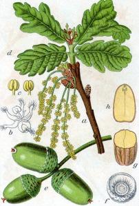 Chêne pédoncule (Quercus robur L.)