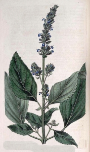 Chia (Salvia hispanica)