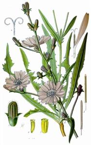 Chicorée (Cichorium)
