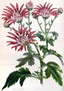 Chrysanthellum (Chrysanthellum indicum)