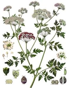 Ciguë (Grande) Conium maculatum L.)