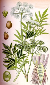 Ciguë vireuse (Cicuta virosa L. )