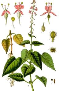 Circée de Paris (Circaea lutetiana L.)