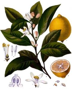 Citron (citrus limonum)