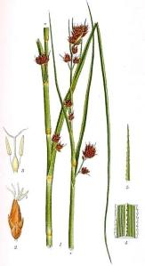 Cladion (Cladium Mariscus L.)