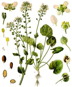 Cochléaire officinale (Cochlearia officinalis L.)