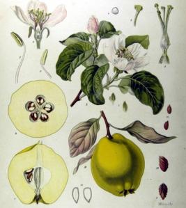 Cognassier (Cydonia oblonga)
