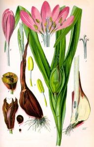 Colchique (Colchicum autumnale)