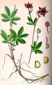 Comaret (Pententilla palustris L.)