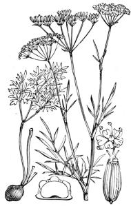 Conopode dénudée (Conopodium majus)