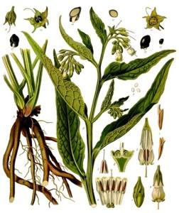 Consoude (Symphytum officinalis)