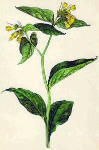 Consoude tubéreuse (Symphytum tuberosum L.)