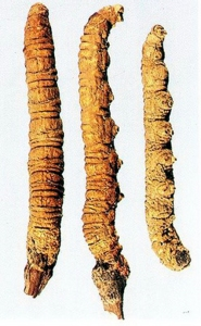 Cordyceps (Cordyceps sinensis)