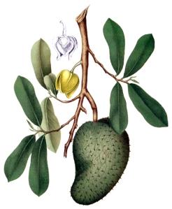 Corossol (Annona muricata)