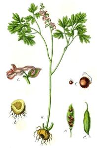 Corydale à bulbe creux - (Corydalis cava)