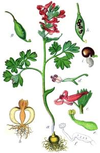 Corydale à bulbe plein - (Corydalis solida)
