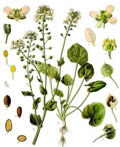 Cranson des Alpes (Cochlearia officinalia)