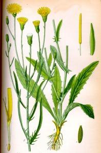 Crépis à tige fine (Crepi capillaris L.)
