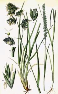 Crételle des prés (Cynosurus cristatus L.)