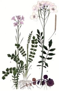 Cresson amer - (Cardamine amara)