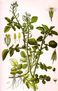 Cresson officinal (Nasturtium officinale)