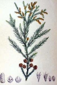 Cryptomeria japonica-2