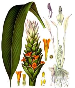 Curcuma (xanthorrhiza)