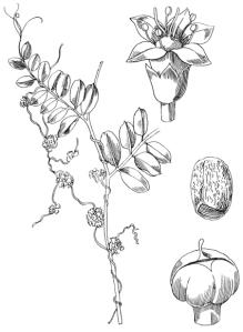 Custute petite (Cuscuta epithymum L.)