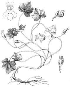 Cymbalaire des murs (Cymbalaria muralis)