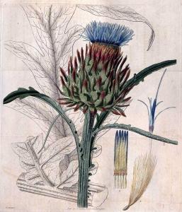 Cynara cardunculus L. (Cardon)