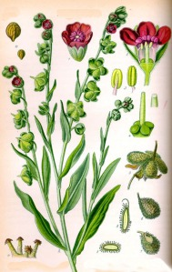 Cynoglosse officinal (Cynoglossum officinale L.)